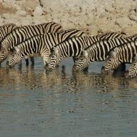 Etosha - zebra\'s