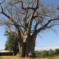 Baobab Zuidelijk Afrika